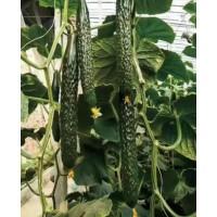 洛阳黄瓜苗育苗厂 秋延黄瓜苗耐热品种