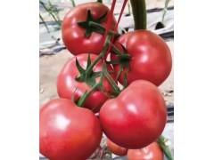 丹东番茄苗厂家 批发粉西红柿苗基地
