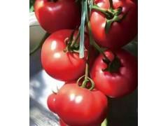 锦州番茄苗批发厂家 秋延迟西红柿苗品种