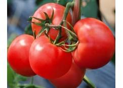 盘锦批发西红柿苗基地 卖番茄种苗厂家