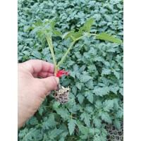 玉溪番茄苗 大红番茄嫁接育苗厂
