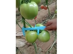大理小西红柿苗 粉贝贝小西红柿育苗厂