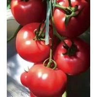 鄂尔多斯西红柿育苗厂家 大红番茄苗批发