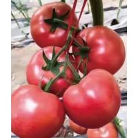 鲁山育西红柿苗厂 蔬菜苗培育基地