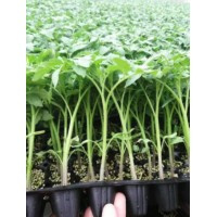 呼和浩特番茄苗育苗厂 小西红柿苗批发基地