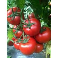 靖江番茄苗口感类 泰州西红柿育苗厂