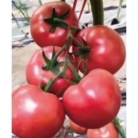 榆林西红柿苗厂家 批发大粉西红柿苗基地