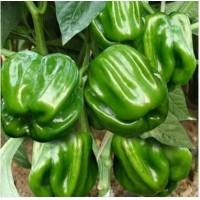 烟台辣椒苗大量出售尖椒、线椒、螺丝椒苗基地
