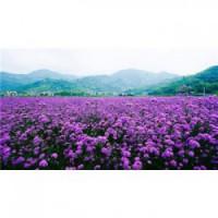香 港 七叶一枝花种子
